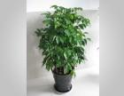 成都植物出租丨花卉租摆丨花卉养护