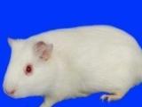 农家自养荷兰猪豚鼠