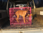哪里有卖纯种马犬出售 疫苗驱虫按时做好可签协议