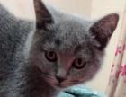 自家6个月英短因猫毛过敏忍痛出售
