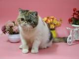 纯种加菲猫 高品质 纯血统 漂亮粘人