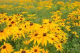 黑心菊种植基地——有品质的黑心菊,哪里有卖