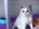猫舍自己繁殖各种世界名猫