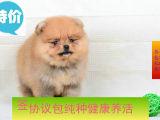出售哈多利(俊介博美犬)茶杯犬保健康,包退换