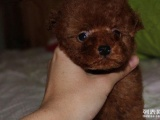 送宠物狗狗拉泰迪宝宝一只喜欢的朋友可免费领养