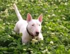 天津专业繁殖牛头梗幼犬 出售高品质纯血统保健康的牛头梗