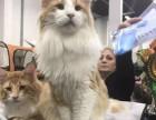 纯种挪威森林猫/布偶猫/缅因猫,有CFA五代血统证书