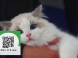 南阳在哪里卖健康纯种宠物猫 南阳哪里出售布偶猫