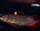 观赏鱼 龙鱼 金龙鱼 过背 金龙辣椒 红龙 红龙鱼 魟鱼