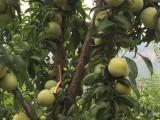贵州蜂糖李子苗 毕节蜂糖李价格 蜂糖李种植技术
