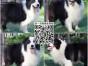 犬舍出售纯种健康边境牧羊犬幼犬 健康好品质 包养活
