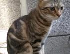 狸花猫中的田园虎斑猫 公猫 求配种 找女友