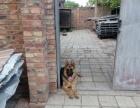 出售德国牧羊犬
