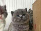 自家猫舍出售优良英短美短猫咪