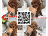 纯种茶杯泰迪犬丨血统纯正健康包活丨签署质保合同