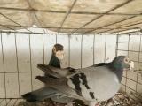 眼睛球 两头乌 栏杆 麻背 彩背等观赏鸽出售