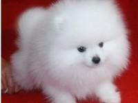 深圳狗场直销博美泰迪阿拉斯加哈士奇金毛萨摩耶德牧等各种名犬