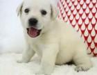 出售神犬小七拉布拉多幼犬 骨骼粗壮 毛色光滑包健康