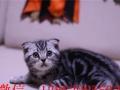 专业家养波斯 折耳 加菲 蓝猫 英美短爱心呵护爱心人士快来