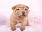 春季特惠高品质沙皮狗幼犬 血统纯正 体型完美 健康纯种