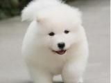 赛级大骨量大毛量纯种萨摩狗狗萨摩耶幼犬活体宠物狗家养幼犬