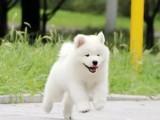 微笑白天使萨摩耶幼犬乖巧双眼皮保健康纯种狗狗