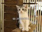 重庆哪里有卖美短 重庆哪里有卖宠物猫美短