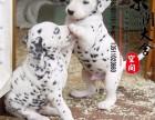 鞍山哪里有卖斑点犬的