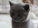 家有蓝猫,求领养