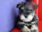 重庆哪有雪纳瑞犬卖 重庆雪纳瑞犬价格 重庆雪纳瑞犬多少钱
