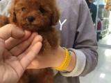 嘉兴哪有贵宾犬卖 嘉兴贵宾犬价格 嘉兴贵宾犬多少钱