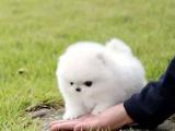 中国较大双血统博美犬繁殖基地 可实地考察
