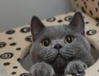 禅城哪里有放心猫舍猫舍直销,蓝猫幼猫,纯种健康,协议质保