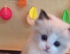 出售各种花色布偶猫