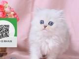 烟台哪里有宠物店 烟台哪里卖宠物猫便宜 烟台金吉拉价格