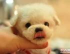 长沙狗狗之家长期出售高品质 泰迪 售后无忧