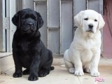 宁波那里有拉布拉多犬卖 宁波拉布拉多犬价格 拉布拉多犬多少钱