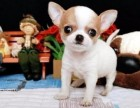 茶杯犬 墨西哥苹果头吉娃娃 带证书签合同 送货上门