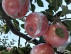 红富士苹果代理