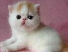 大型实体猫舍 出售各色加菲猫 同城可送上门挑选