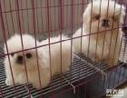 上海哪里出售出售京巴上海京巴狗狗价格上海京巴哪里哪里买