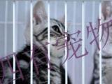 美短美国短毛猫标斑