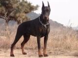 纯种杜宾犬 品相一流 包健康 可签协议上门选购