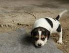 金华哪里卖纯种比格犬 金华比格猎犬多少钱 金华猎犬价格是多少