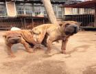 哪里可以买到健康的沙皮犬可以签协议的那种