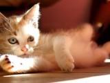 蕪湖出售各種可愛的小貓咪 藍貓 美短