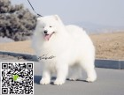 淄博犬舍长期出售-纯种萨摩耶犬 各类世界名犬 终身包纯种