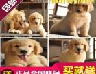 武汉正规狗场出售健康纯种大头金毛幼犬多只可选 可签质保