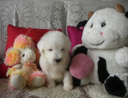 中国专业繁殖双血统古代牧羊犬犬舍 可以上门挑选
