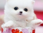 哈多利球体博美幼犬小体茶杯俊介小型犬